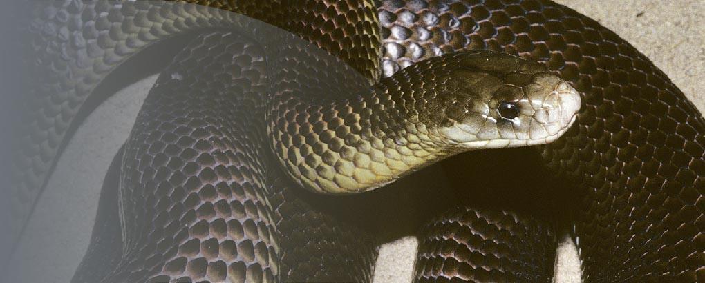 Immunohaematology snake venom detection kit